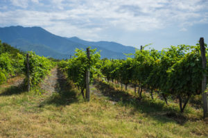 plantacja-wina-gruzja
