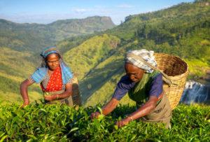 herbata-plantacje-sri-lanka