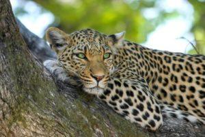lampart-park-narodowy-yala-sri-lanka