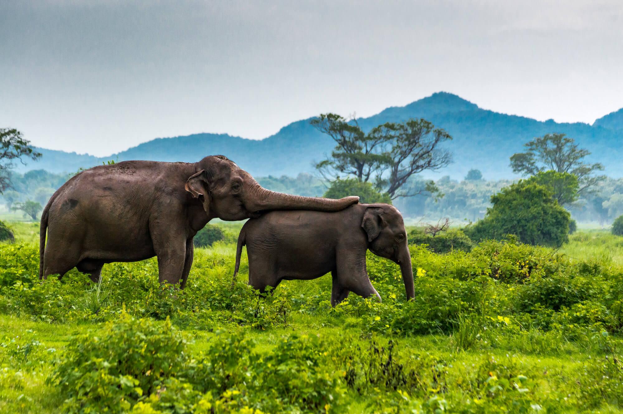 slonie-sri-lanka