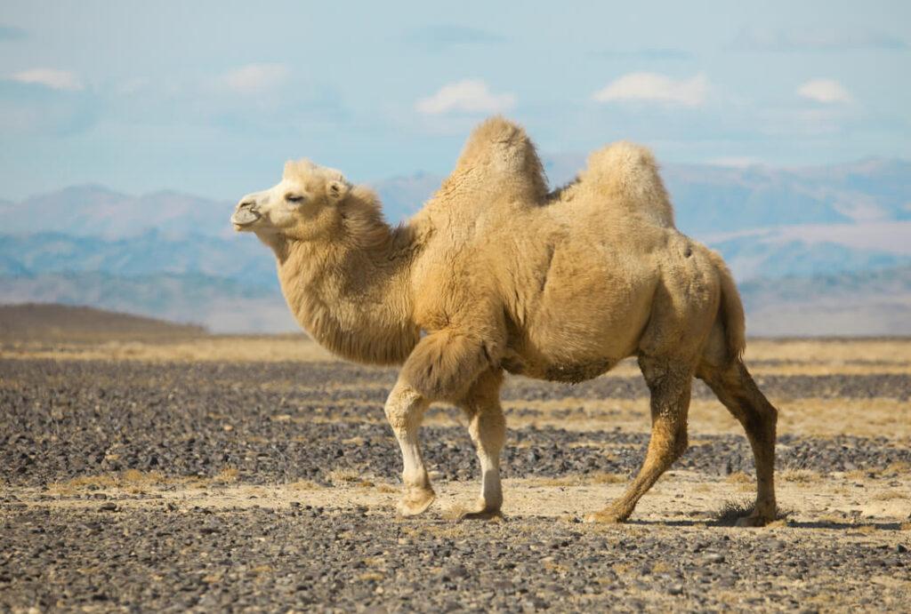 baktrian wielblad dwugarbny mongolia