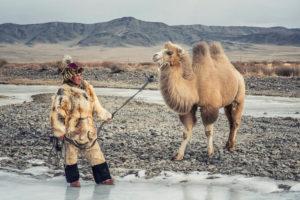 baktrian wielbłąd mongolia