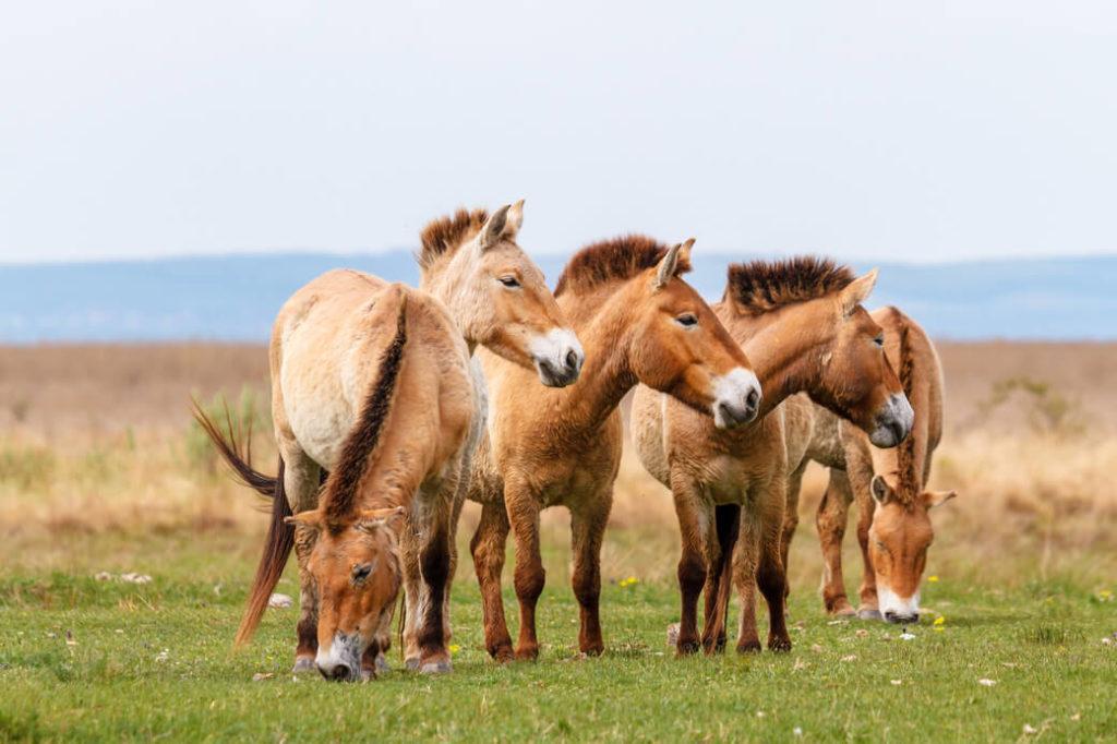 konie przewalskiego park-chustajn nuruu mongolia
